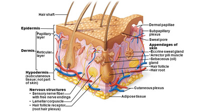 integumentary system of human body - definition and information, Muscles