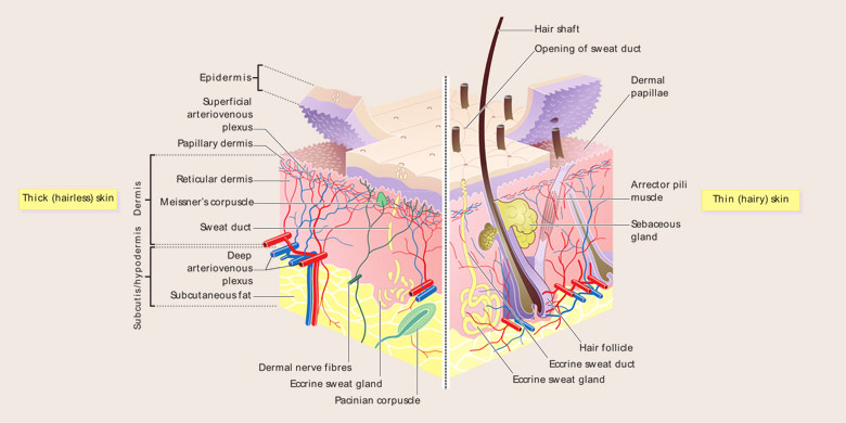Integumentary System Parts and Pictures