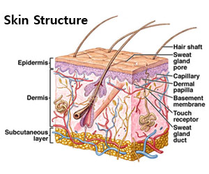 integumentary system parts and pictures, Human Body